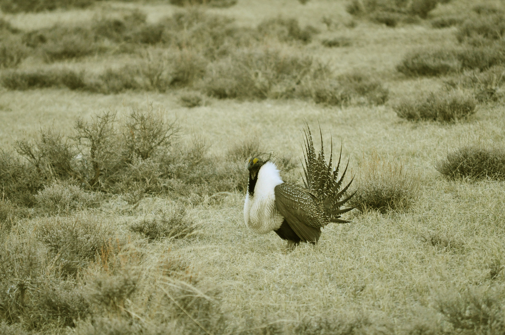 sage grouse photo
