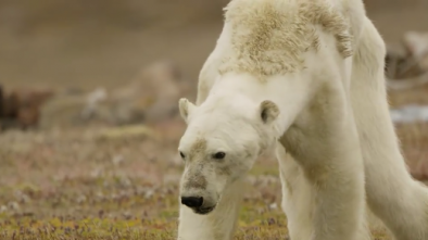 Activists Cry as Polar Bear Dies; Blame Global Warming