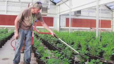 Big Labor Wants 1000s Of Pot Workers to Pay Union Dues