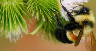 DRIESSEN: 'Rusty-Patched Bumblebee' Protection May Screw Up Trump Infrastructure Plans