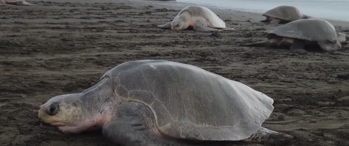 Enviro Groups Sue Federal Gov't Over Sea Turtles, Despite Huge Population Boom