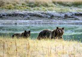 Judge Blocks Grizzly Bear Hunt Near Yellowstone Park
