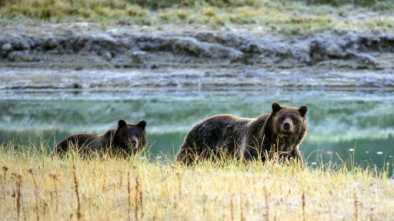 Judge Blocks Grizzly Bear Hunt Near Yellowstone Park