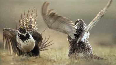 Judge Cancels Oil and Gas Leases on Sage Grouse Land