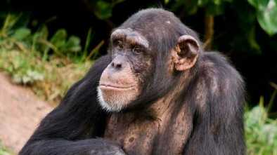 NY Supreme Court Rules: Chimpanzees Are Not People