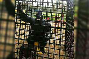 'Racist' Gorilla Statue Removed From Playground