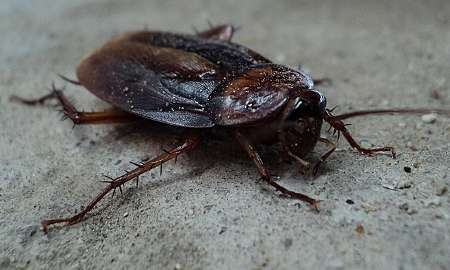 german cockroach photo
