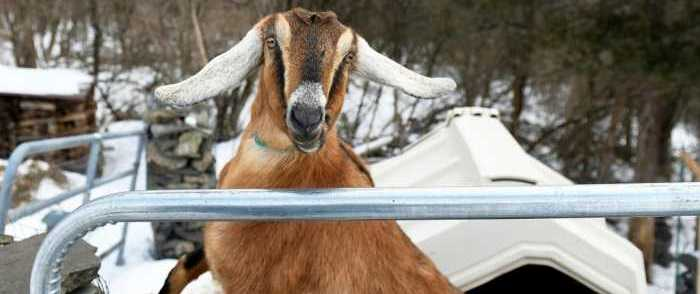 Town in Bernie Sanders' Home State Elects Goat as Mayor